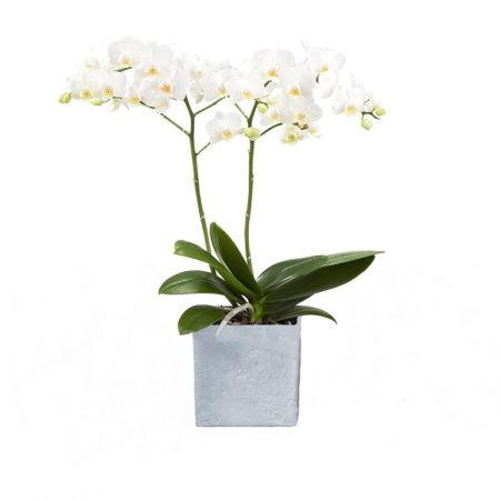pflanzenservice zimmerpflanzen orchidee phalaenopsis wei bl hend 2 triebig 1. Black Bedroom Furniture Sets. Home Design Ideas
